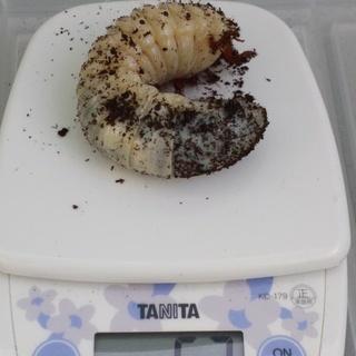 ヘラクレスオオカブト幼虫3令後期♂♀ペア―