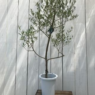 観葉植物 庭木 オリーブ