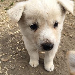 生後1ヶ月の子犬(あと1匹になりました)