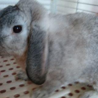 ポーランドロップ(ウサギ)生後2年