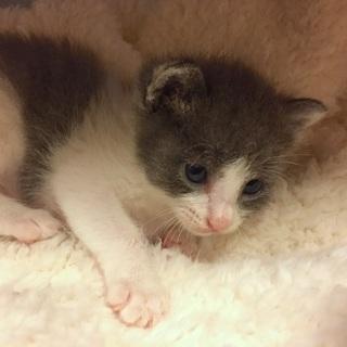 まだミルクです!可愛い赤ちゃん猫