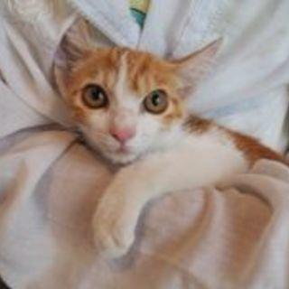 子猫 茶白1匹