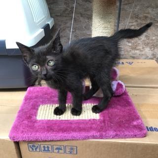 活発的でやんちゃな黒猫・ジジ2ヶ月