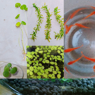 【sale】楊貴妃赤ちゃん10匹、ヌマエビ5匹、水草4種セット