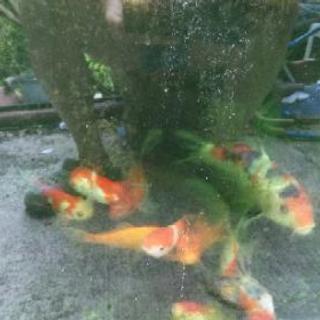 金魚いろいろ🍊みかんあります
