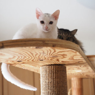 子猫(キジ♂、シロ♀)里親募集中
