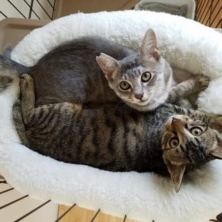 可愛いキジ子猫です。