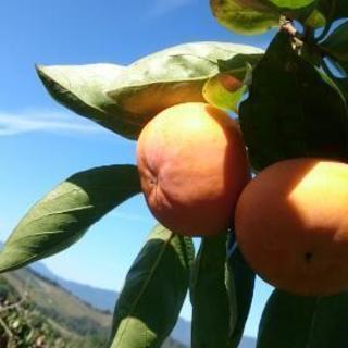 柿の収穫アルバイト