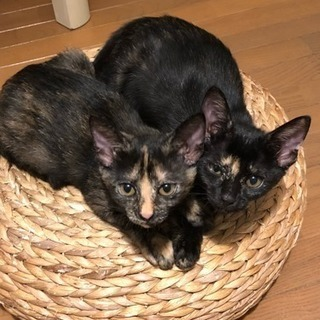 緊急★ サビ子猫とほぼ黒のサビ子猫 2ヶ月くらい