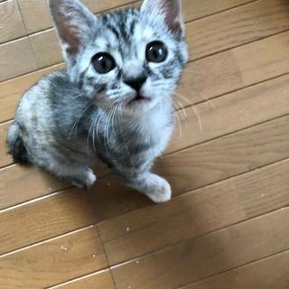 今お話し中   緊急★サバ?1ヶ月半くらいの子猫★顔めちゃ可愛い...