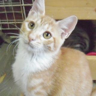 美形5兄妹の正統派美猫★ウラ ♂3ヶ月