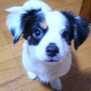 5月16日生まれの子犬♂親はチワワ×mix犬(ダックスとマルチーズ)です