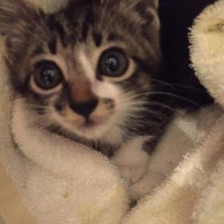 生後約6週間の子猫♀