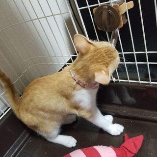 茶白猫4ヶ月