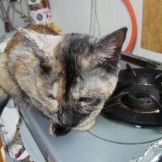 サビ猫女の子 約1歳未手術