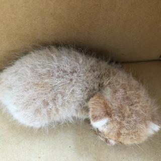 生後1週間程度の子猫を引き取ってくれる方
