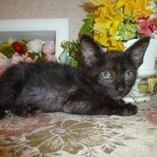 1ヶ月のぬいぐるみのように愛らしい赤ちゃん猫!