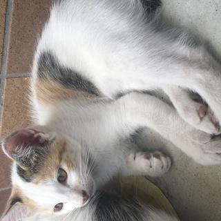 可愛い三毛の子猫♪4匹も生まれました!!→3匹心優しい方に引き取っ...