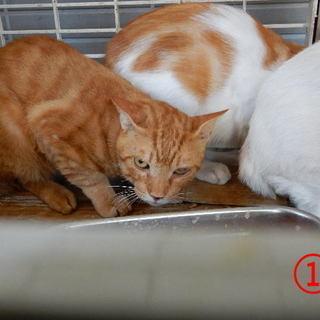 【大至急募集】大人のネコちゃんですが。埼玉県川口市上青木です。