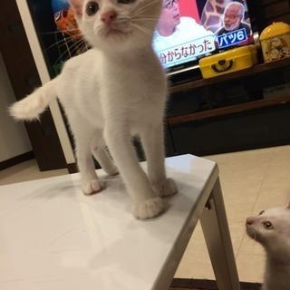 鍵尻尾の白猫シン君