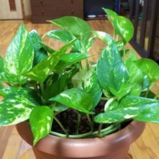 ポトスの鉢植え