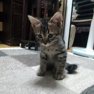 1~2ヶ月の子猫