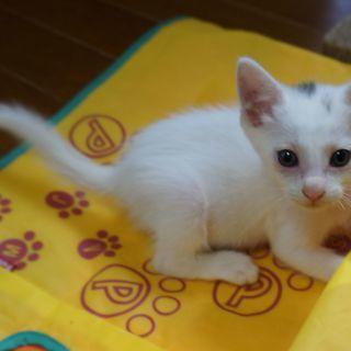 生後1.5か月くらい、白くてかわいい男の子  良いご縁がありました。