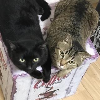 人に懐きやすいキジトラと黒猫兄弟です