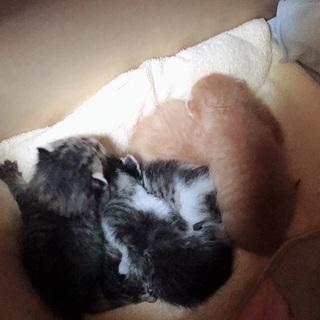 生後1週間(推定)子猫の里親5匹