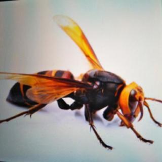 蜂の巣駆除します。