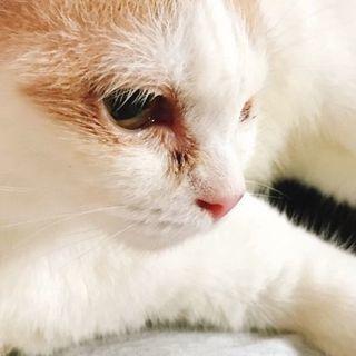純血スコ、目が悪いけど陽気な猫🎵
