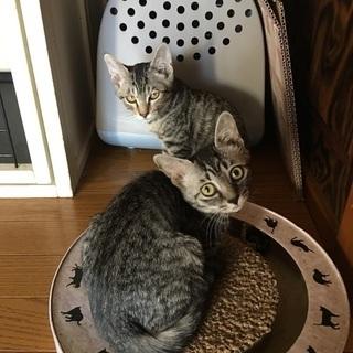 スレンダー美猫のキジ白ちゃんと、アメショ似のサバトラちゃん姉妹の里親さん募集します! - 里親募集