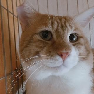 茶白オス猫1歳半〜2歳です。里親さん決まりました。