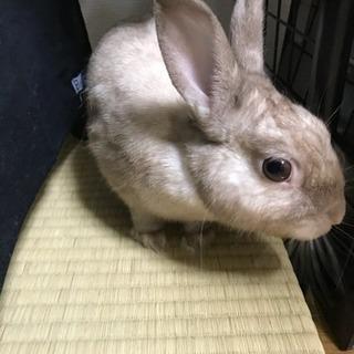 小さくてかわいい♂ウサギ