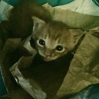 生後21日過ぎ、迷子の子猫の里親になってください❗️