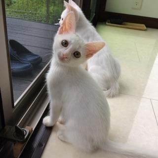 頭にキジマークの白猫女の子