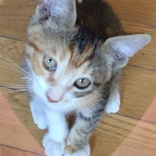 3ヶ月じゃくの三毛猫❤️人なつこい女の子の里親さん募集❤️