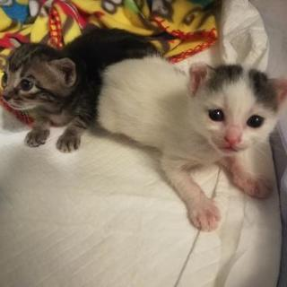 8月2日現在生後約1週間白キジ子猫里親さま募集中です。