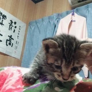 【決まりました】キジトラのメス子猫