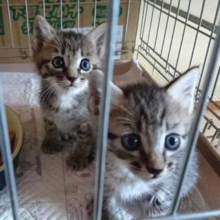 子猫オス1ヶ月