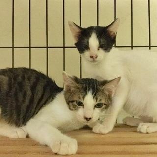 三カ月キジ白(オス)、白黒(メス)子猫