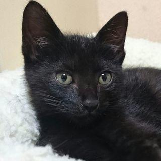 生後3ヶ月 黒猫男の子  初期医療済