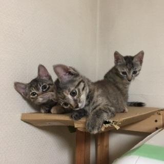 超絶可愛い子猫 おとりちゃん - 知多市