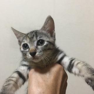 超絶可愛い子猫 おとりちゃん - 猫