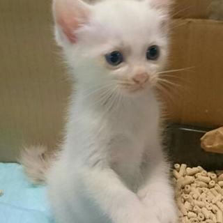 募集☆  2ヶ月半 可愛い盛りの子猫です♪
