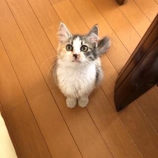 幸運のカギシッポのふわふわ子猫です。