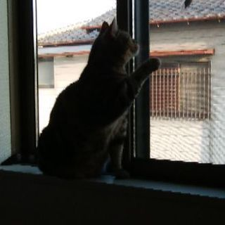 アメショー雌おっとりやさしい猫さん