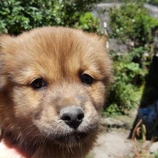 紀州犬系 雑種 茶 メス 生後2ヶ月の子犬です。