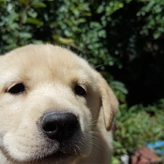 紀州犬系 雑種 白 メス 生後2ヶ月の子犬です。
