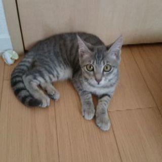 里親さんになってください⭐仔猫4ヶ月弱